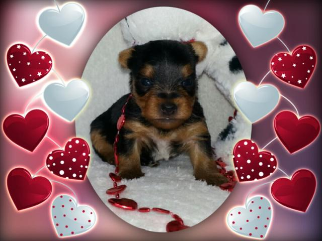 AKC Yorkshire Terrier Male Puppy - Benza