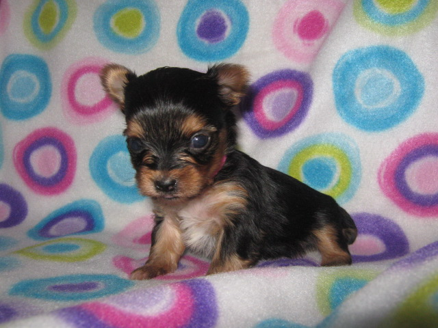 AKC Yorkshire Terrier Female - Charity