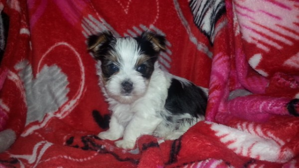 AKC Parti Yorkshire Terrier Male - Chester