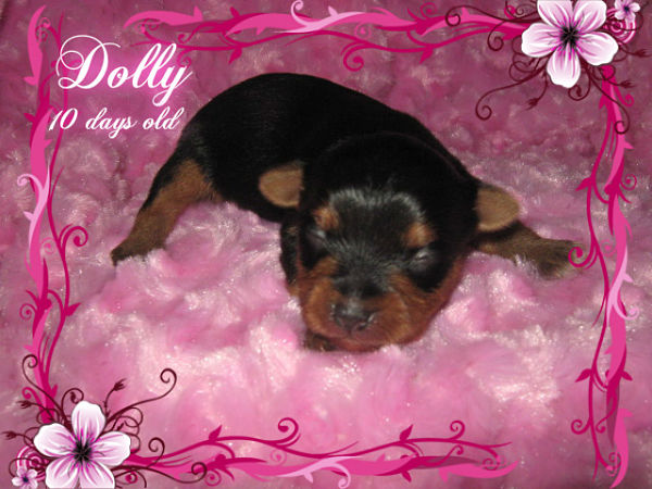 AKC Female Yorkshire Terrier - Dolly