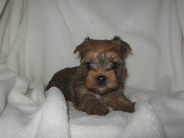 Akc Gold Sable Yorkshire Terrier Male Puppy Dunkin