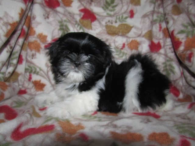 AKC Shih Tzu Female Puppy - Sabrina