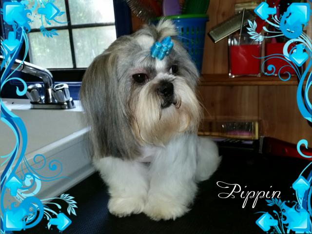 AKC Adult Male Shih Tzu - Pippin