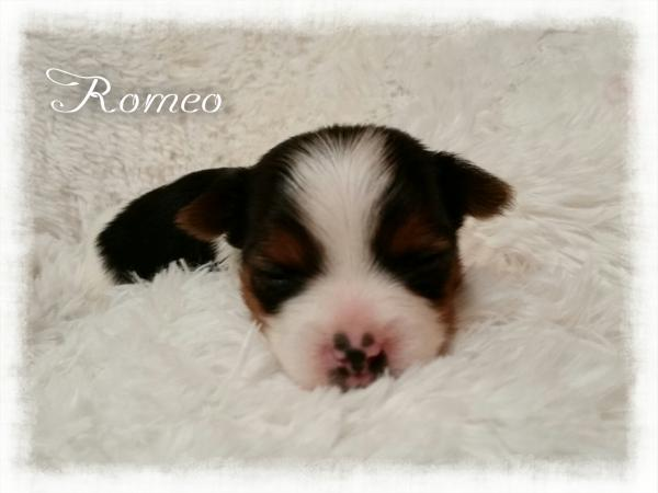 AKC Parti Yorkshire Terrier Male Puppy - Romeo