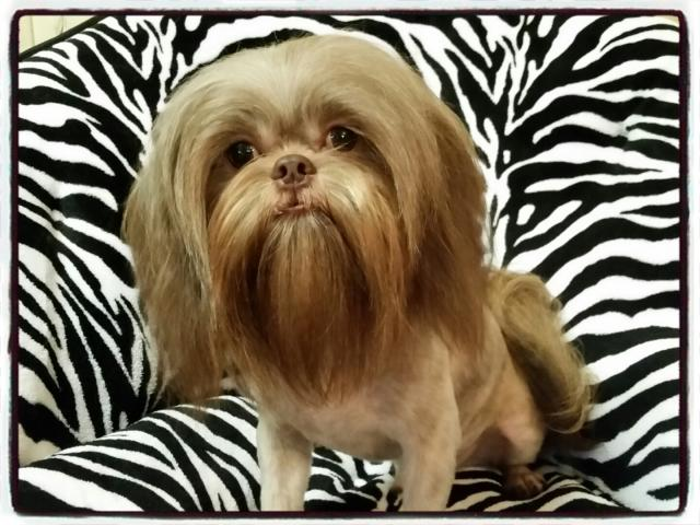 AKC Young Adult Male Shih Tzu - Reese