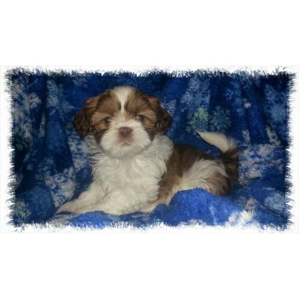 Liver And White Female Shih Tzu Puppy For Sale In Virginia