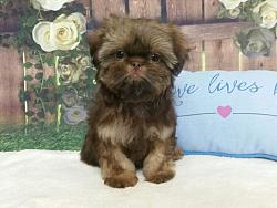 Imperial Shih Tzu Male Puppy - Sully
