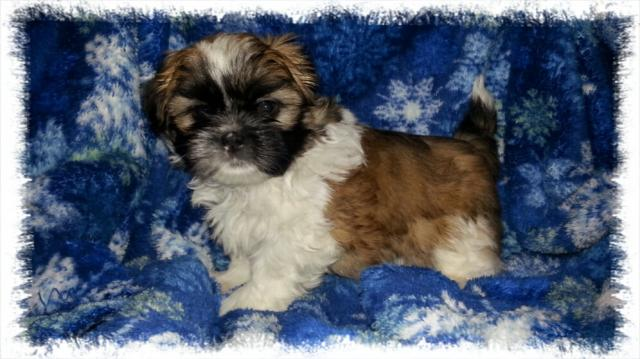 Gold And White Male Shih Tzu Puppy For Sale In Virginia Abraham
