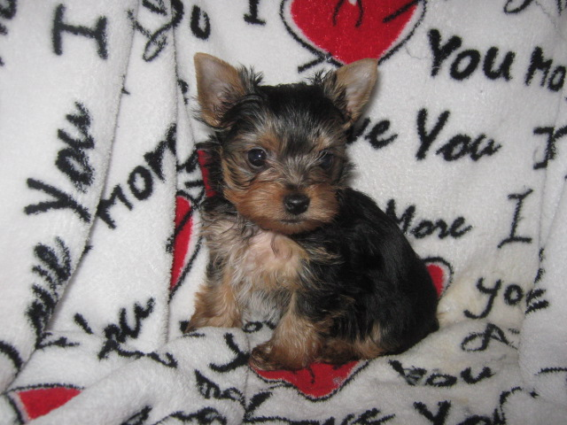 AKC Yorkshire Terrier Female - Dolly
