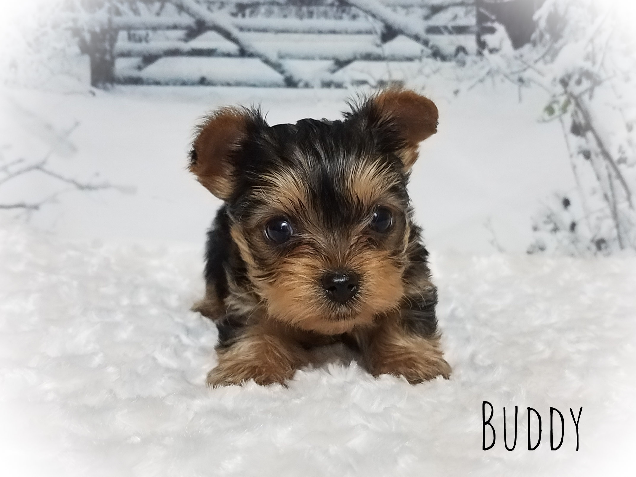Yorkshire Terrier Male Puppy - Buddy