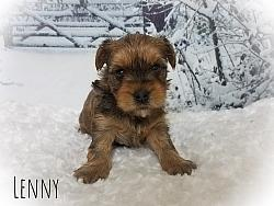 Gold Yorkshire Terrier Male Puppy - Lenny