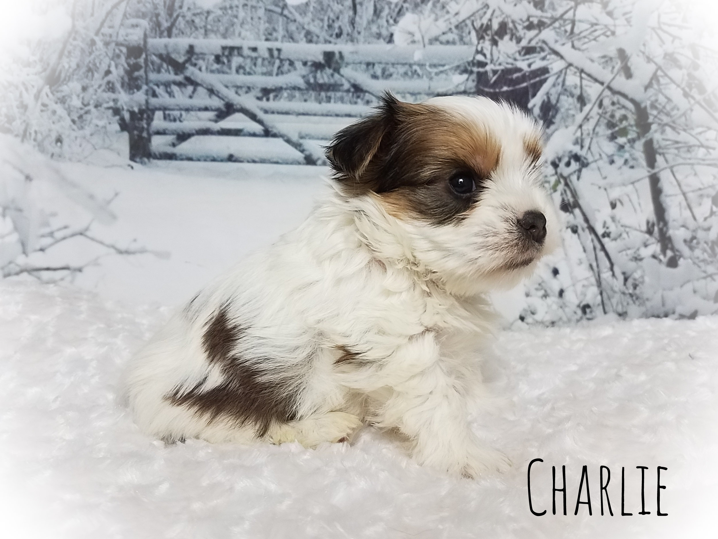 Gold Parti Yorkshire Terrier Male Puppy - Charlie