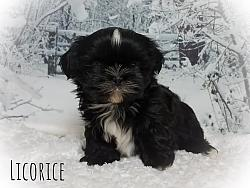Shih Tzu Female Puppy - Licorice