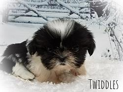 Shih Tzu Female Puppy - Twiddles