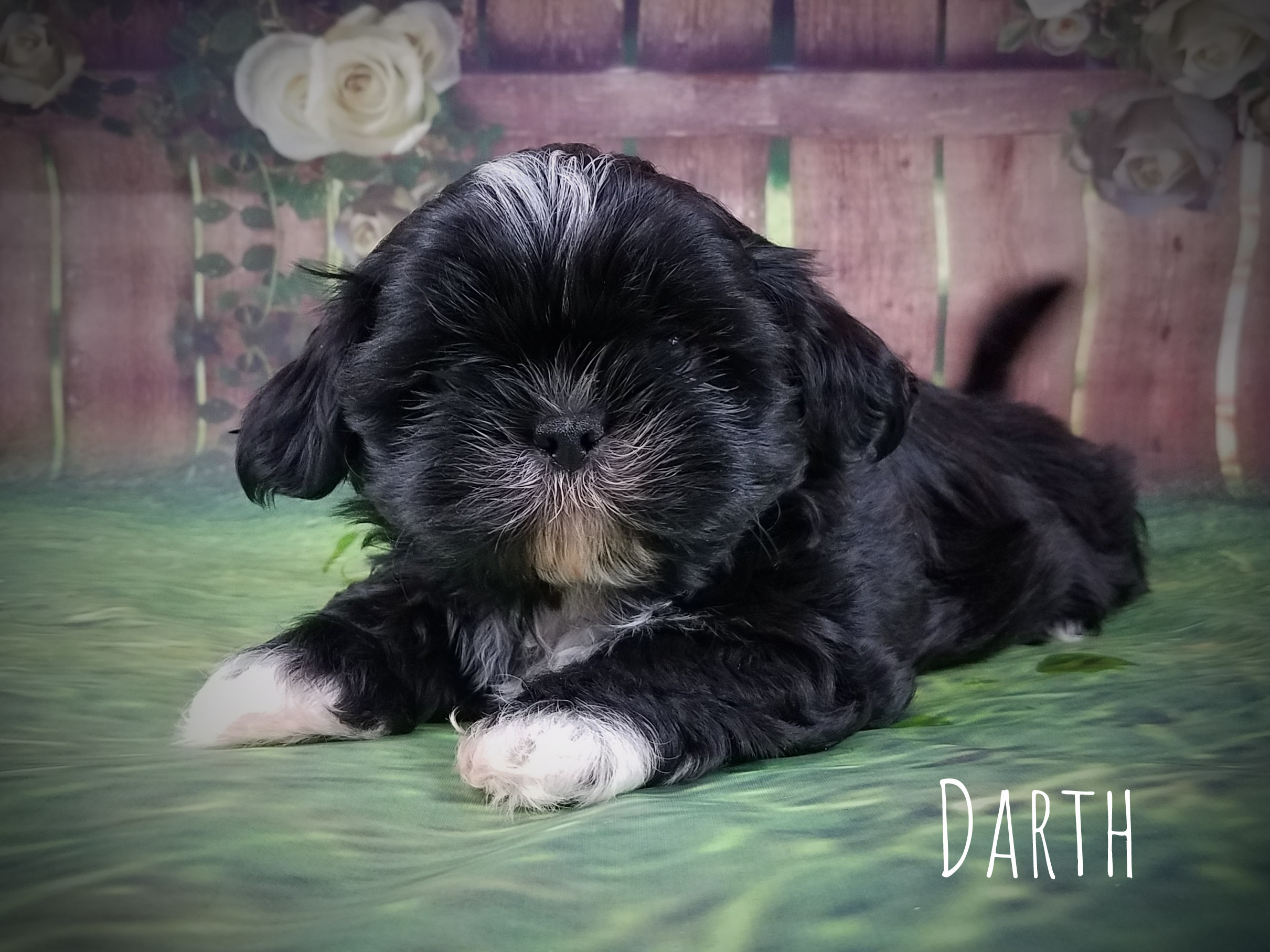 Shih Tzu Male Puppy - Darth