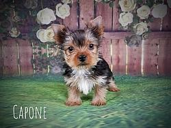 Yorkshire Terrier Male Puppy - Capone