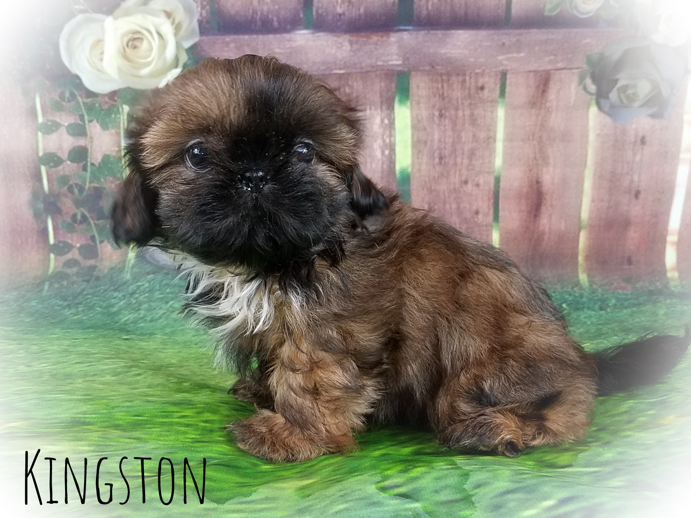 Imperial Shih Tzu Imperial Male Puppy for Sale in Virginia - Kingston