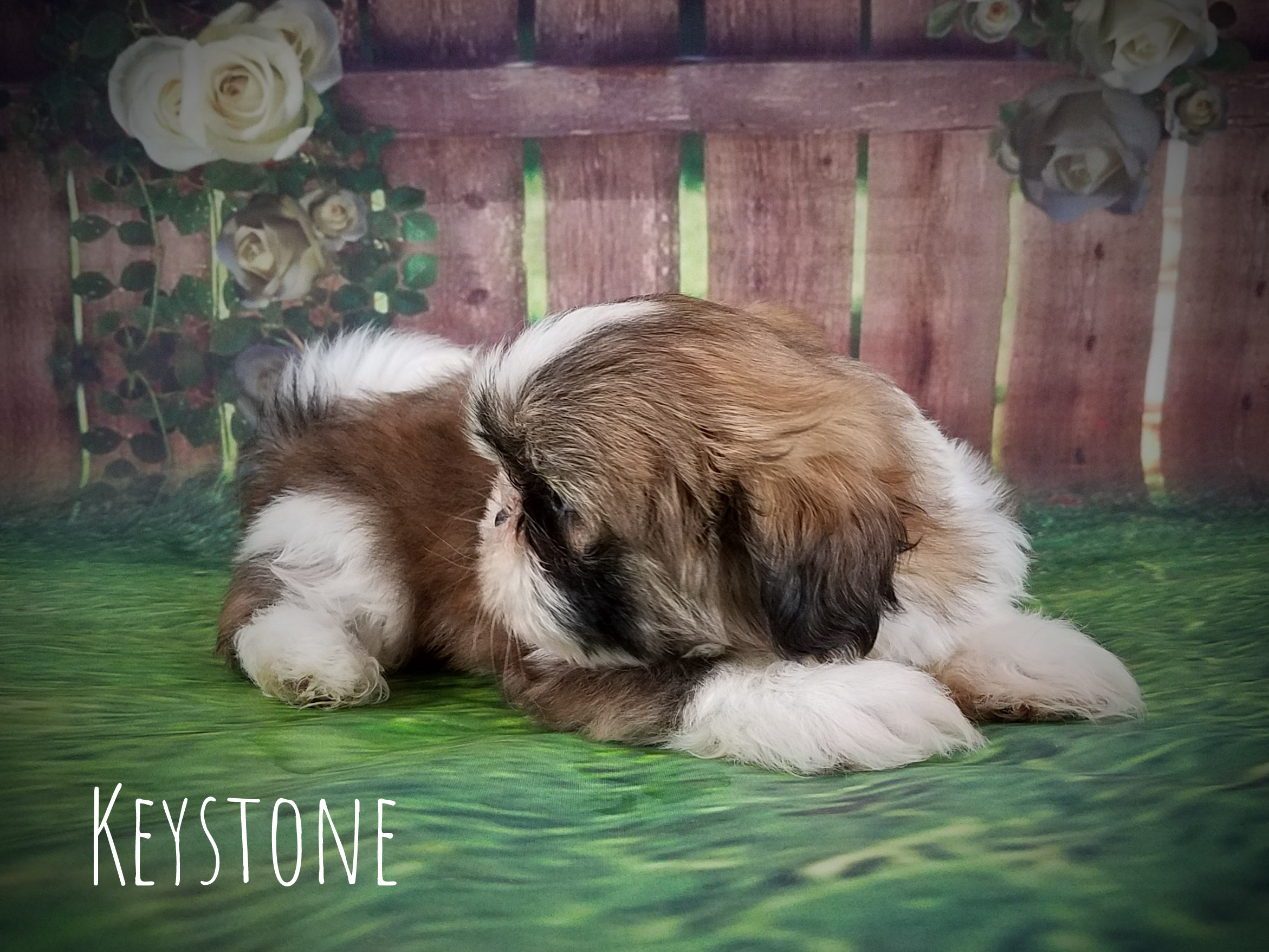 Shih Tzu Male Puppy - Keystone