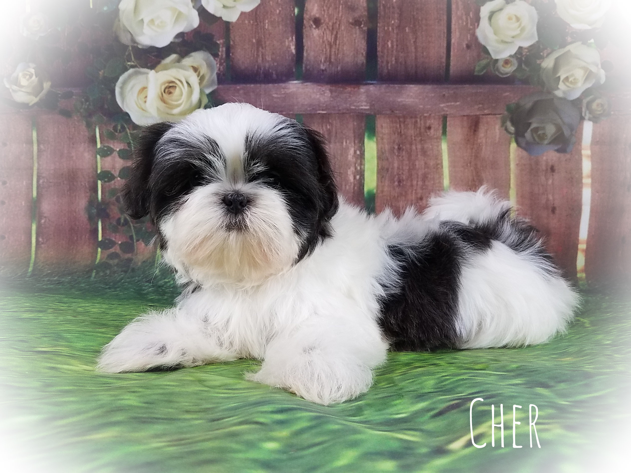 Shih Tzu Female Puppy - Cher