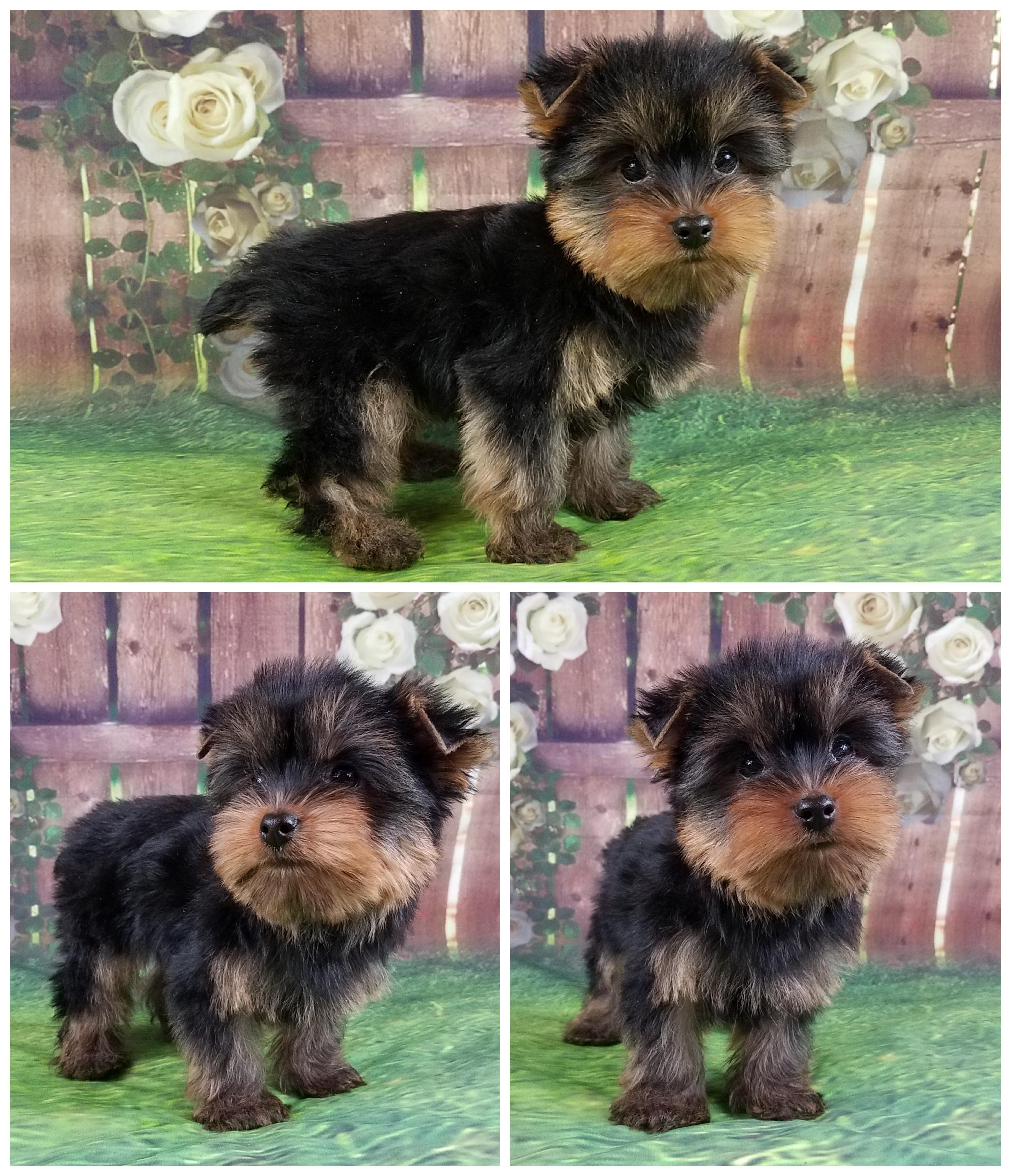 Yorkshire Terrier Male Puppy - Carson