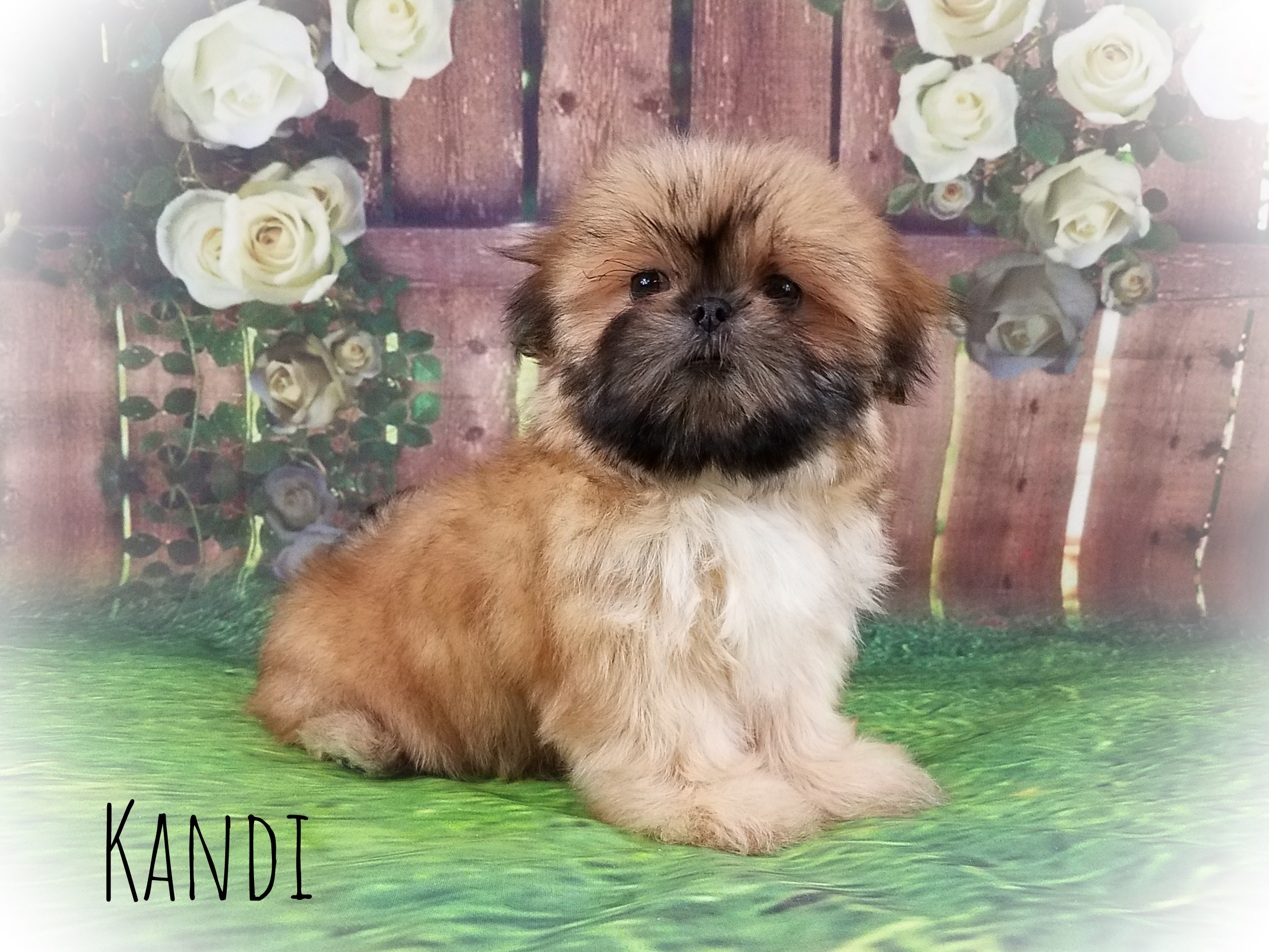 Shih Tzu Female Puppy - Kandi