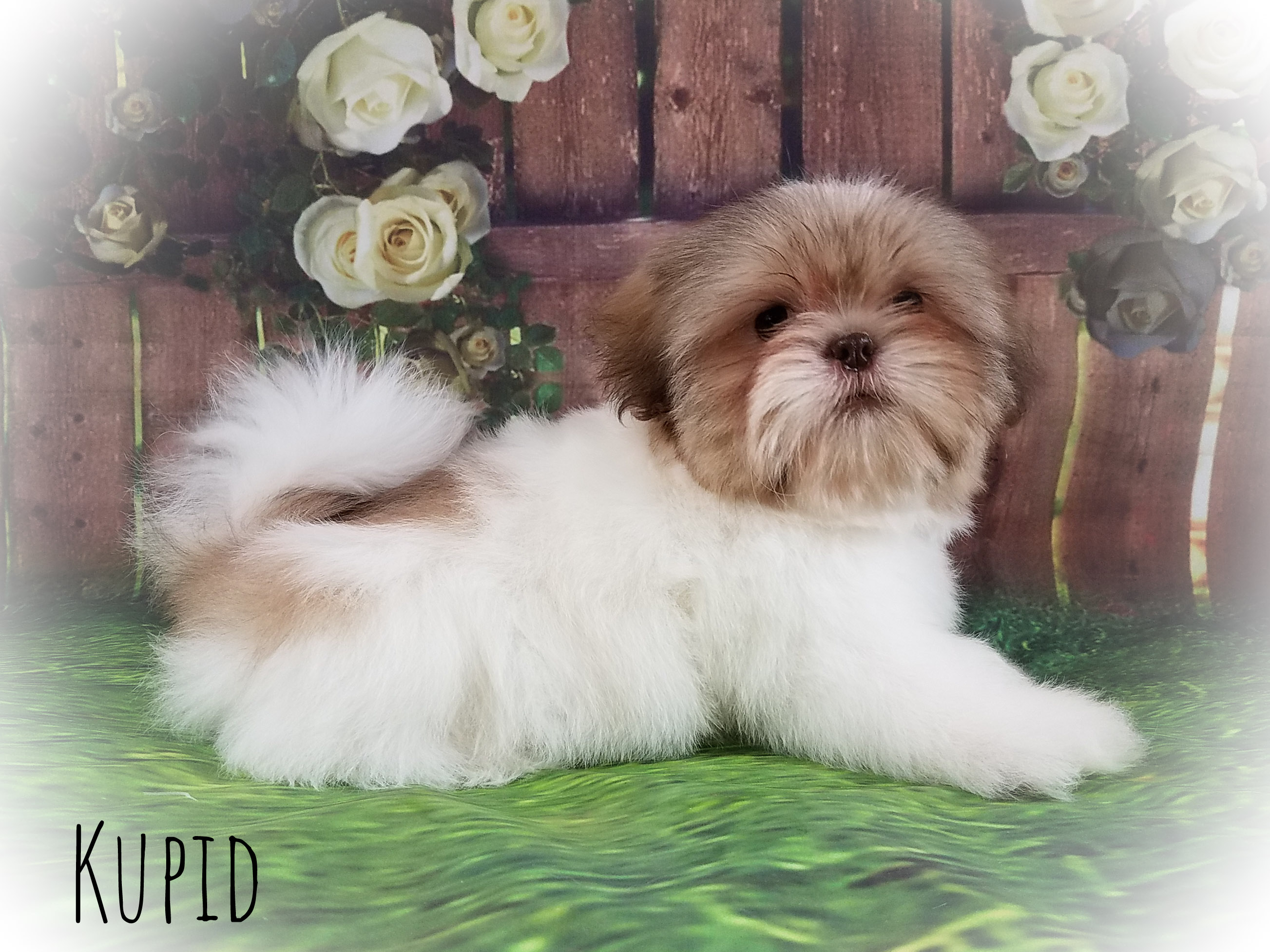 Shih Tzu Male Puppy - Kupid