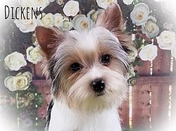 AKC Parti Yorkshire Terrier Male Puppy - Dickens