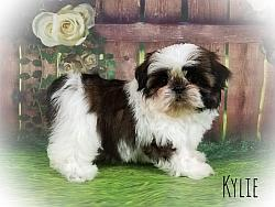 Imperial Shih Tzu Female Puppy - Kylie