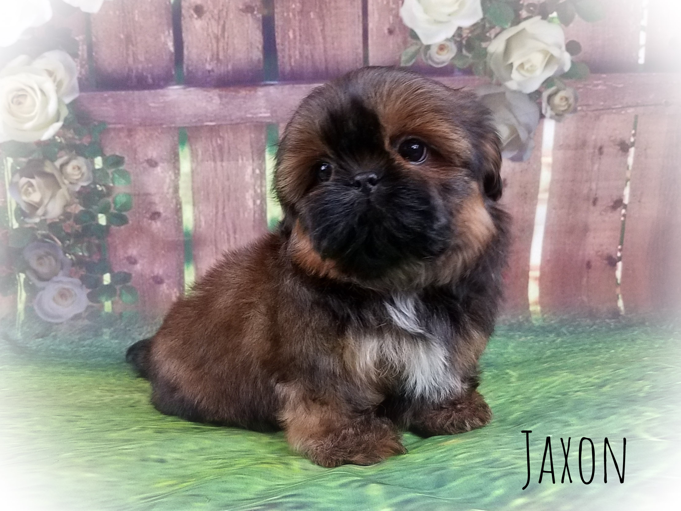 Imperial Shih Tzu Male Puppy - Jaxon