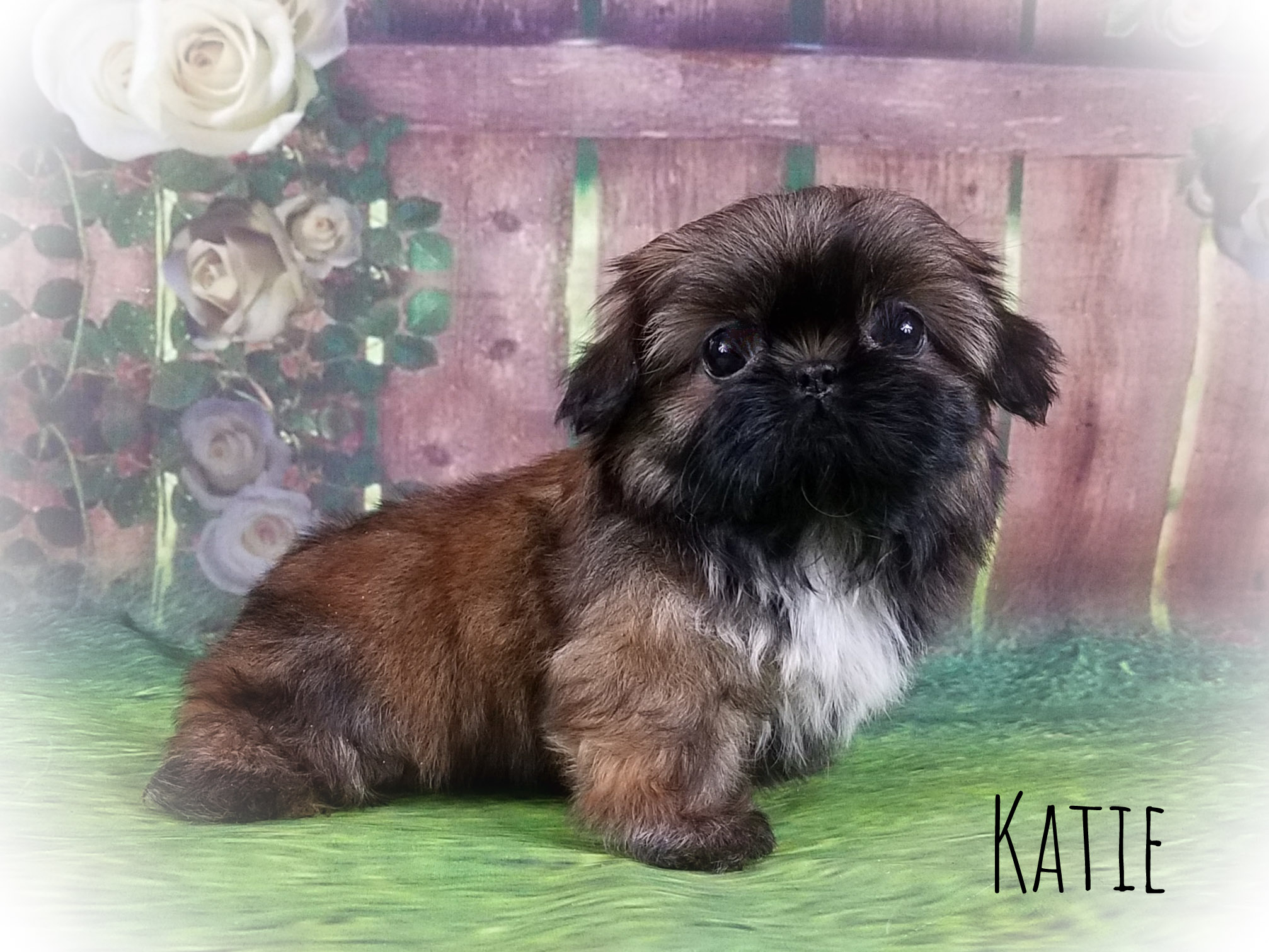 Imperial Shih Tzu Female Puppy - Katie