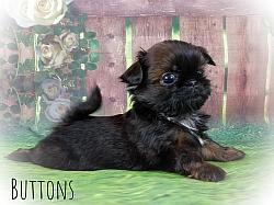 Imperial Shih Tzu Male Puppy - Buttons