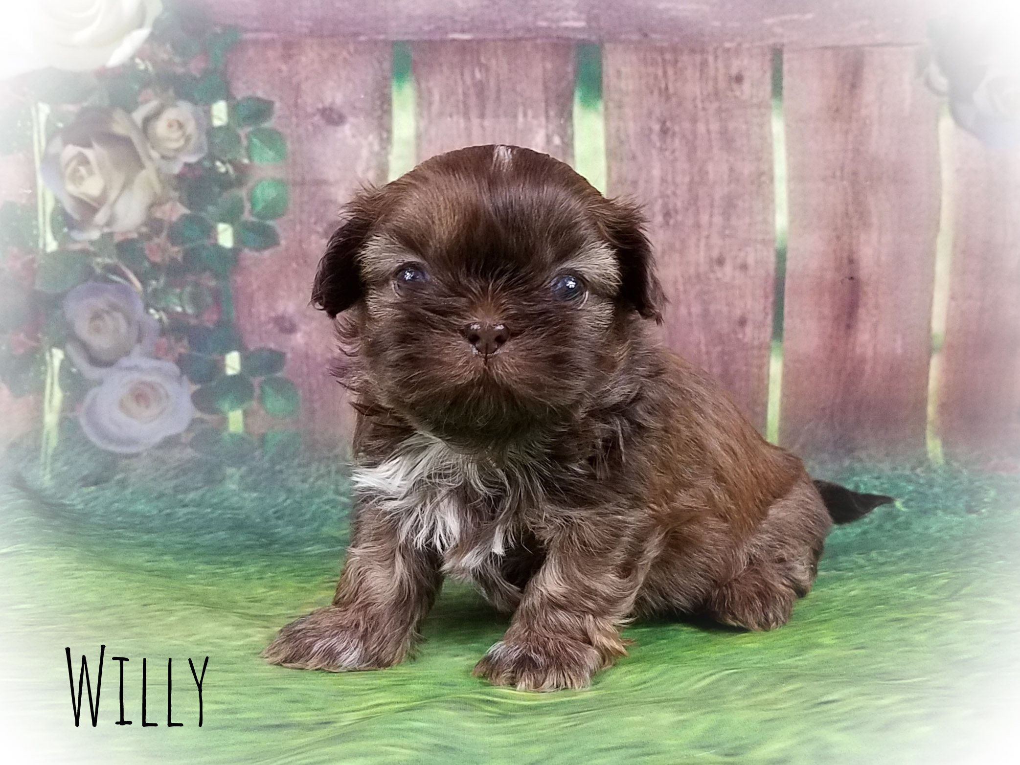 Imperial Shih Tzu Male Puppy - Willy