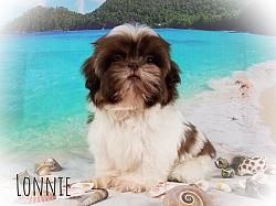 Imperial Shih Tzu Male Puppy - Lonnie