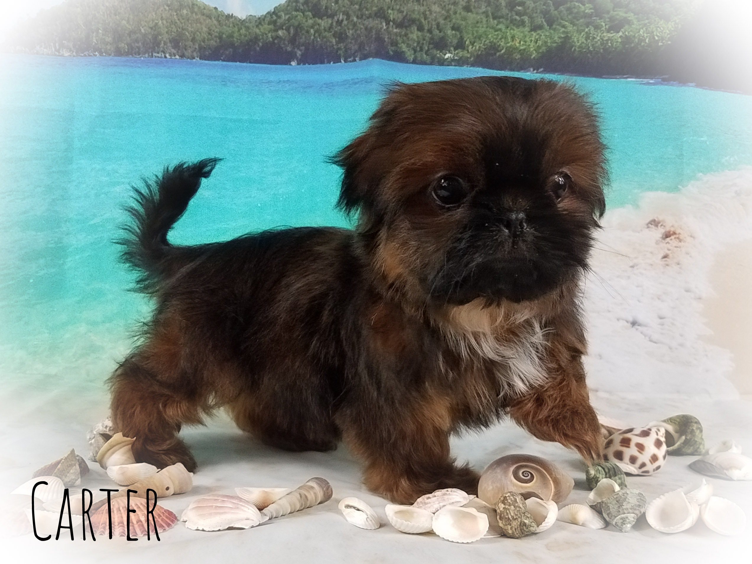 Imperial Shih Tzu Male Puppy - Carter