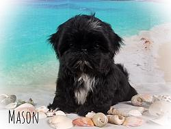 Imperial Shih Tzu Male Puppy - Mason
