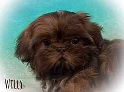 AKC Shih Tzu Male Puppy - Willy