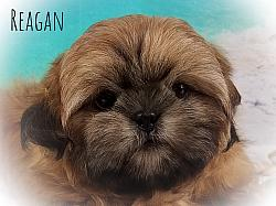 Shih Tzu Male Puppy - Reagan