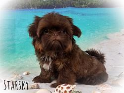 Precious Family Jewels | Yorkshire Terrier and Shih Tzu