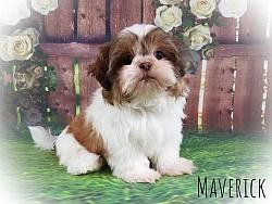 Imperial Shih Tzu Male Puppy - Maverick