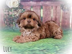 Imperial Shih Tzu Puppies for Sale in Virginia