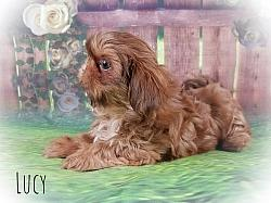 Shih Tzu Female Puppy - Lucy