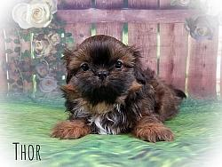 Imperial Shih Tzu Male Puppy - Thor