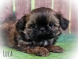 Imperial Shih Tzu Male Puppy - Luca