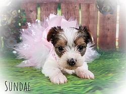 Parti Yorkshire Terrier Female Puppy - Sundae