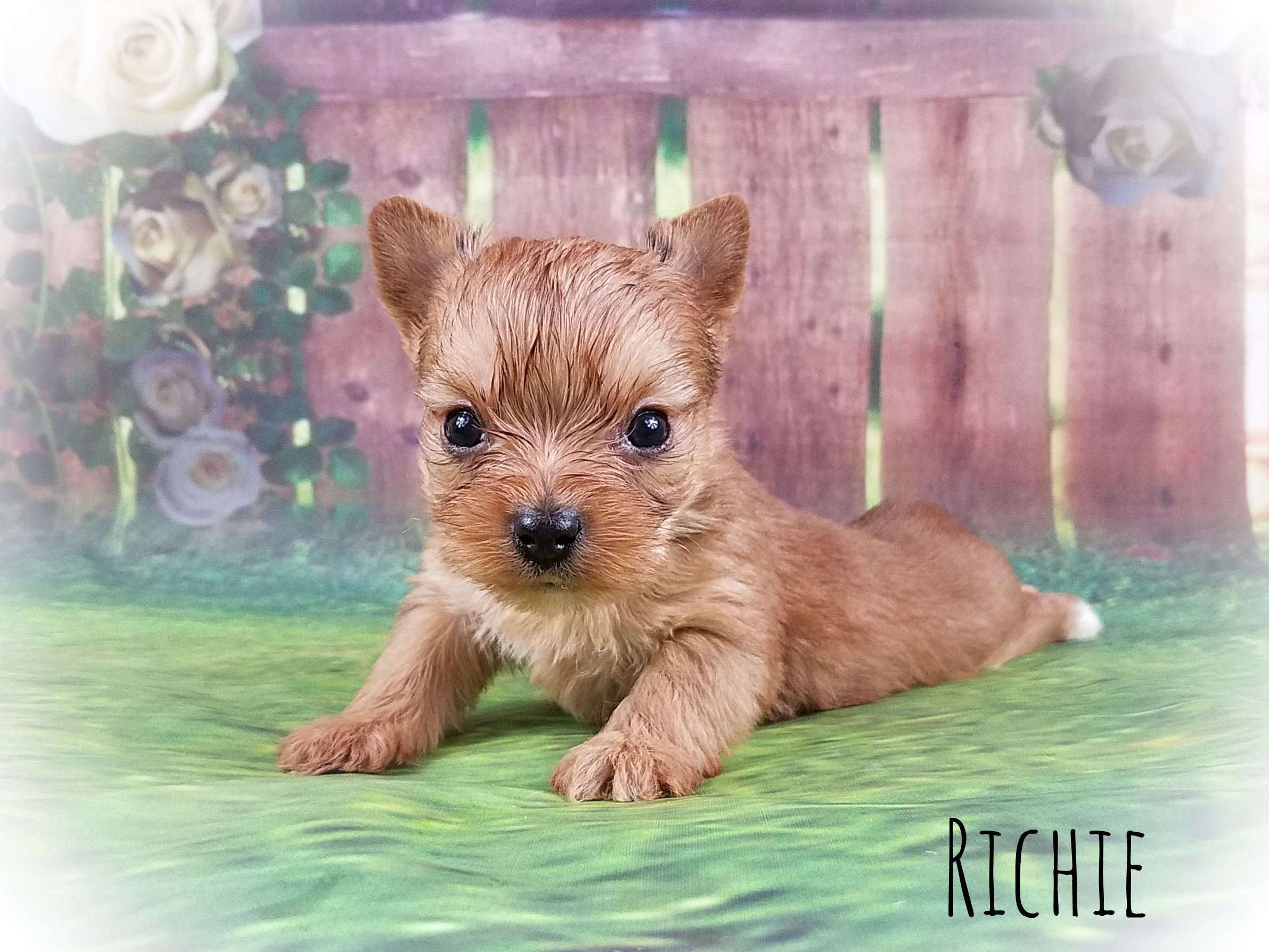 Gold Yorkshire Terrier Male Puppy - Richie