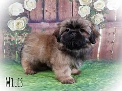 Shih Tzu Male Puppy - Miles
