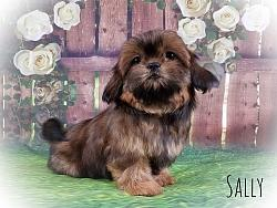 Shih Tzu Female Puppy - Sally