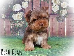 Chocolate Yorkshire Terrier Male - Beau Dean