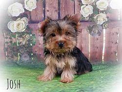 Yorkshire Terrier Male -Josh