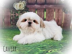 Shih Tzu Male Puppy - Caviar